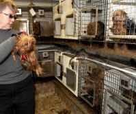 Green County Yorkie Puppy Mill