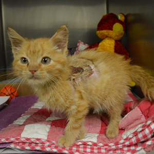 Apollo the injured kitten upon arrival at HSMO